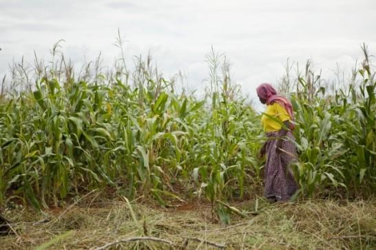 walking woman in a crop field