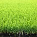 定点観測して気づいたが、稲の成長速度がものすごく速い