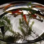 日本橋コレド「江戸・金魚の涼ナイトアクアリウム」に行ってきた