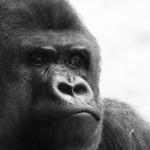 ゴリラ研究者にして京都大学新総長・山極寿一『「サル化」する人間社会』が、もんのすごく面白かった